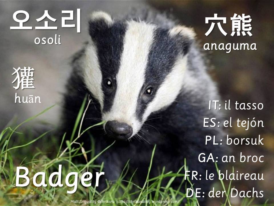 multilingual flashcards updated badger