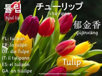multilingual flashcards tulip