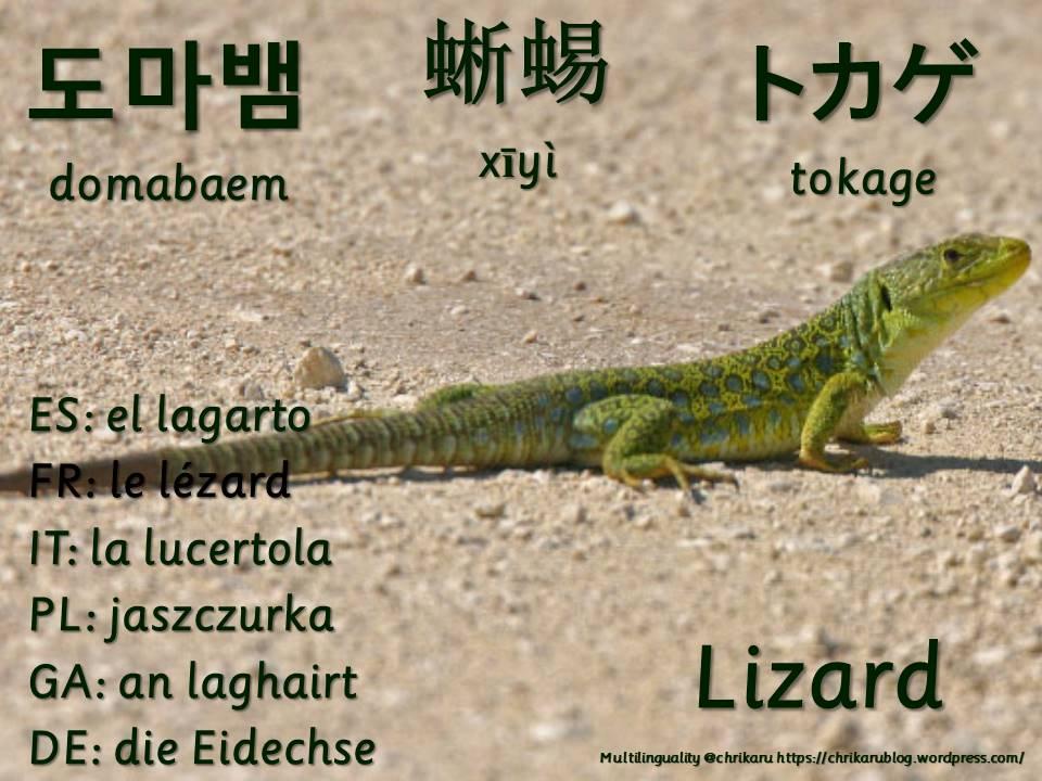 multilingual flashcards lizard