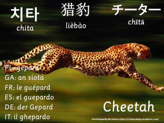 multilingual flashcards cheetah
